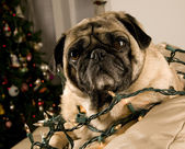 Pug Wrapped in Christmas Lights — Stock Photo