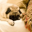 Stock Photo: Pug Laying Down