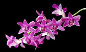 Dendrobium berry oda — Stock Photo