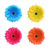 Gerbera flower in different colors — Stock Photo