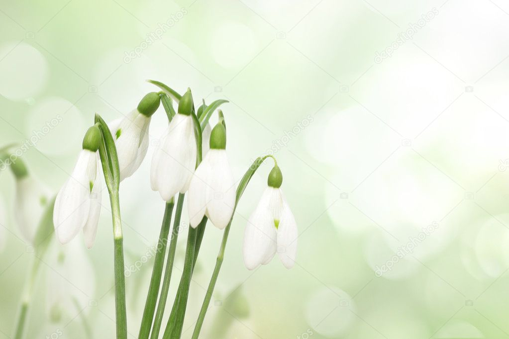 Snowdrop flowers isolated on white — Stock Photo #7109070