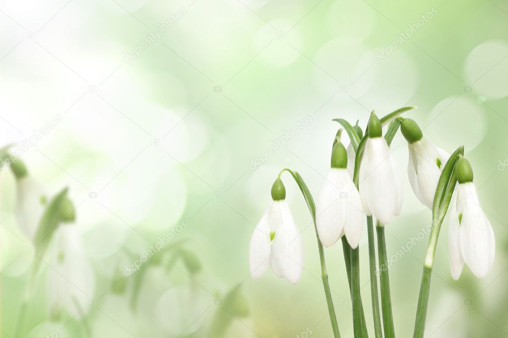 Snowdrop flowers isolated on white — Stock Photo #7109071