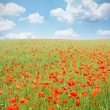 Poppy field — Stock Photo #7116490