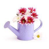 Flores gerbera en regadera — Foto de Stock