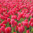 Red tulips in arboretum — Stock Photo