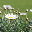 Daisy flower — Stockfoto #7370723