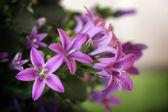 Tiny violet flowers — Stock Photo