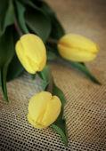 Três tulipas amarelas — Foto Stock