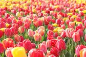 Tulipany w arboretum — Zdjęcie stockowe