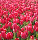 Red tulips in arboretum — Stock Photo
