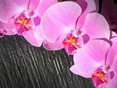 粉红色的兰花纯 — 图库照片