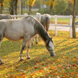 Lipizzan horses grazing — Stock Photo