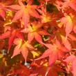 Maple leaves — Stock fotografie #7519811