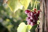 Grape cluster in vineyard — Stock Photo