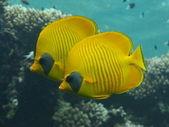 Blu diving coral fish — Stock Photo
