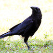 American Crow Suspiciously Watching — Stock Photo