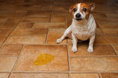 Dog Pee Sad — Stock Photo