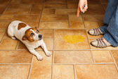 Dog Pee Scold Lay — Stock Photo