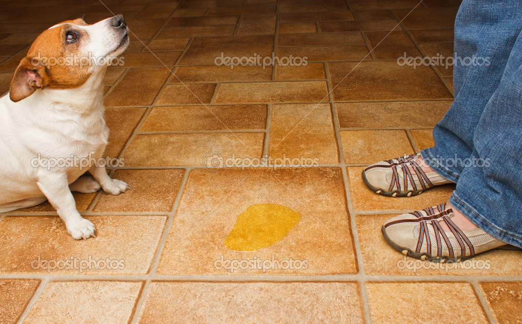 dog peeing on tile