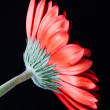 View of singular red gerbera on white — Stock Photo