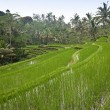 Green paddy terrace of Bali, Indonesia - Stock Photo