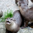 Group of otters in captivity — Stock Photo #7137203