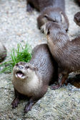 Group of otters in captivity — Stock Photo