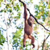 Orangutan hanging on vine — Stock Photo