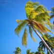 Stock Photo: Swaying palm trees against blue skies