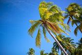 Palmeiras contra o céu azul — Fotografia Stock