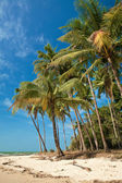 Coconut trees swaying by the breeze — Stock Photo
