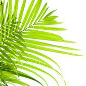 Palmblättern schwanken im wind auf weißem hintergrund — Stockfoto
