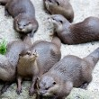 Group of otters in captivity — Stock Photo #7243575