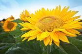 Beautiful big sunflower head in a farm — Stock Photo