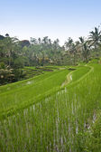 Beautiful green paddy terrace of Bali, Indonesia — Foto Stock