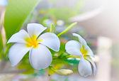 白色素馨花鲜花 — 图库照片