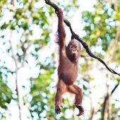 Young orangutan hanging on vine — Stok fotoğraf