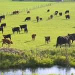 bestiame al pascolo — Foto Stock