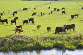 Cattle Grazing — Foto Stock
