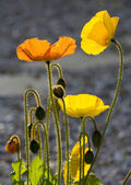 Yellow and orange poppies — Stock Photo