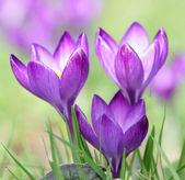 Purple Crocus flower — Stock Photo