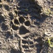 Stock Photo: Paw print and foot print in mud