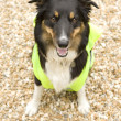 Border Collie wearing hi vis Jacket — Stock Photo
