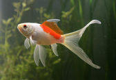 Saras comet goldfish — Stock Photo