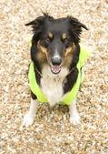 Border Collie wearing hi vis Jacket — Stock Photo