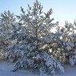 The pine covered with snow — Stock Photo