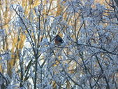 Winter bird in the morning — Стоковое фото