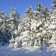 Snow fur-trees in the winter — Stock Photo