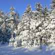 Snow fur-trees in the winter — Stock Photo #7513768