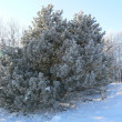 Snow covered pine - Stock Photo